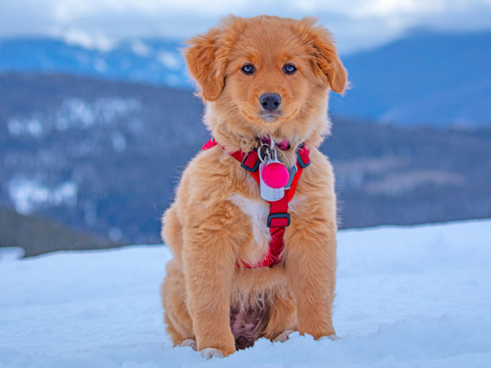 Cowgirl - Avalanche working Dog